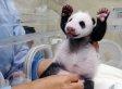 Baby Panda Born At Taipei Zoo, Yuan Zai, Meets Mom For The First Time (VIDEO, PHOTOS)