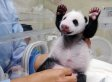 Baby Panda Born At Taipei Zoo, Yuan Zai, Meets Mom For The First Time (VIDEO, PHOTOS)