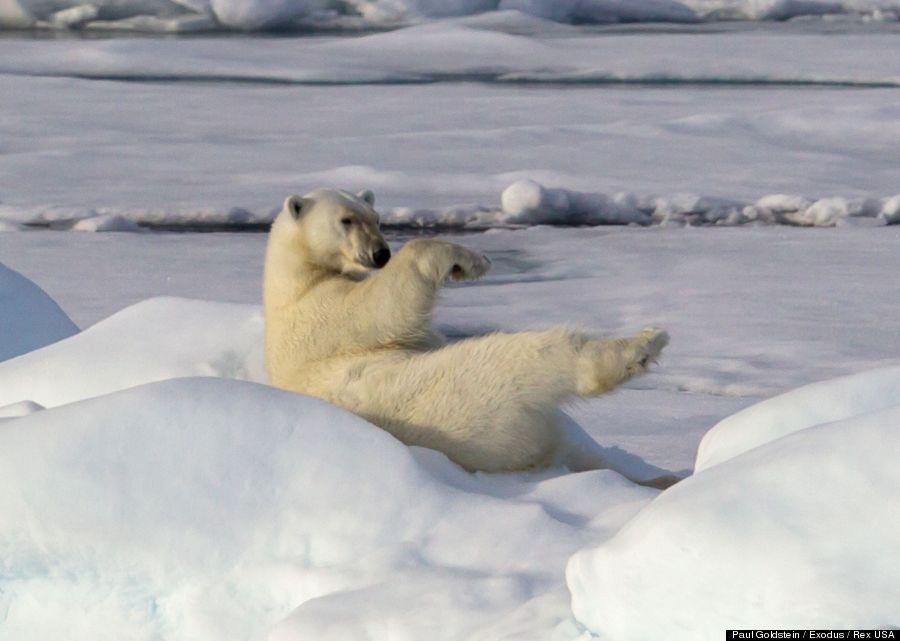 polar bear 4