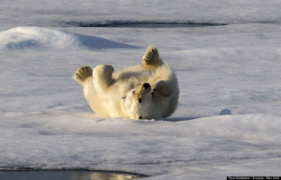 polar bear 6