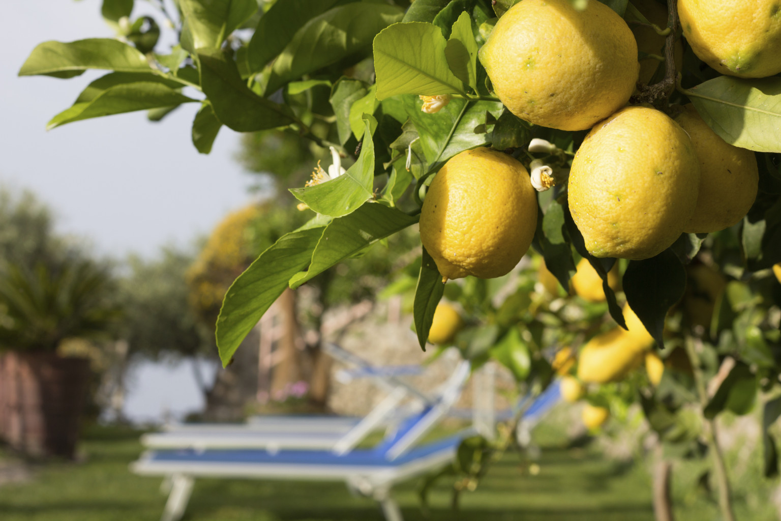 Pictures Of Lemon Trees 100
