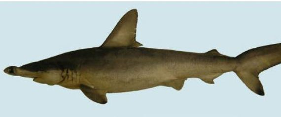 CAROLINA HAMMERHEAD NEW SHARK