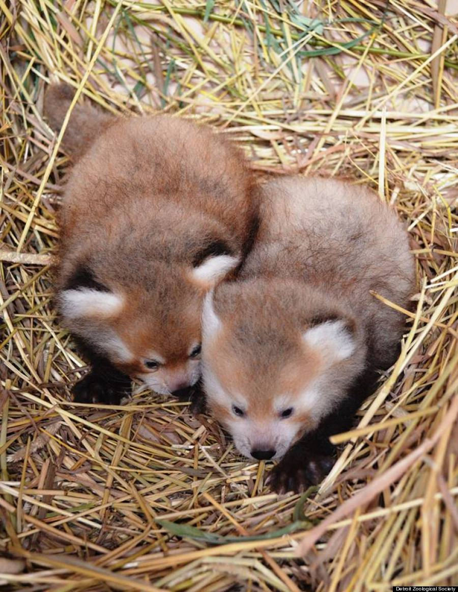 Twin Baby Red Pandas Prove 2 Baby Animals Is Always Cuter