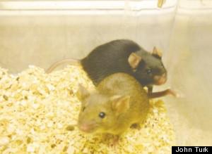 john turks mice