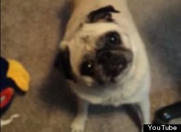 WATCH: Excited Pug Cannot WAIT To Go 'Shwimmin'