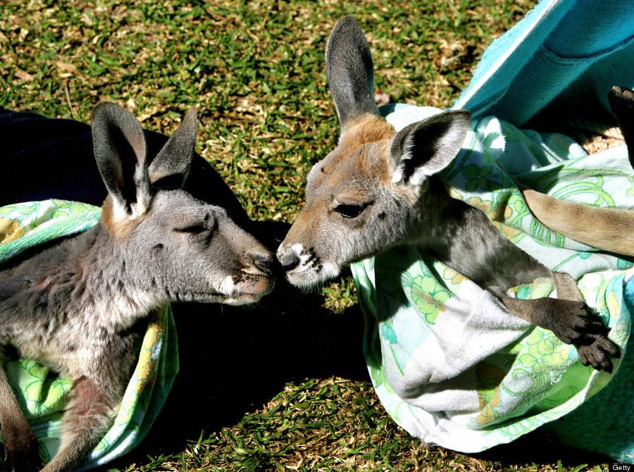 baby kangaroo twins