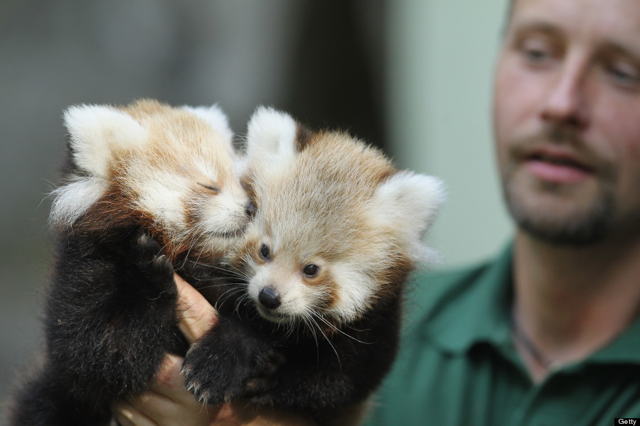 Twin Baby Red Pandas Prove 2 Baby Animals Is Always Cuter Than 1 ...