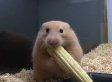 Hamster Eats Corn On The Cob Way, Way, Way Too Quickly (VIDEO)