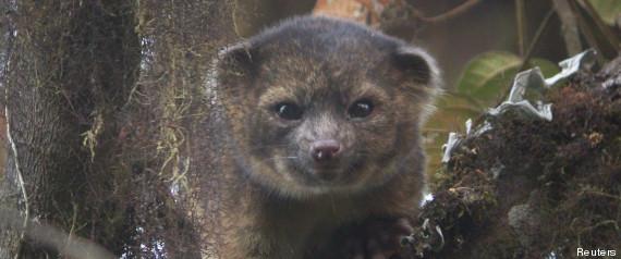 L'olinguito, une nouvelle espèce de mammifère identifiée dans les Andes R-OLINGUITO-large570