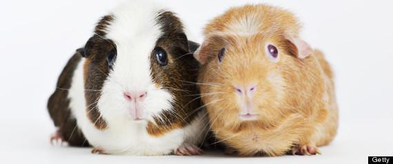 guinea pig sex
