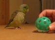 Tiny Bird So Excited Over Ball (VIDEO)