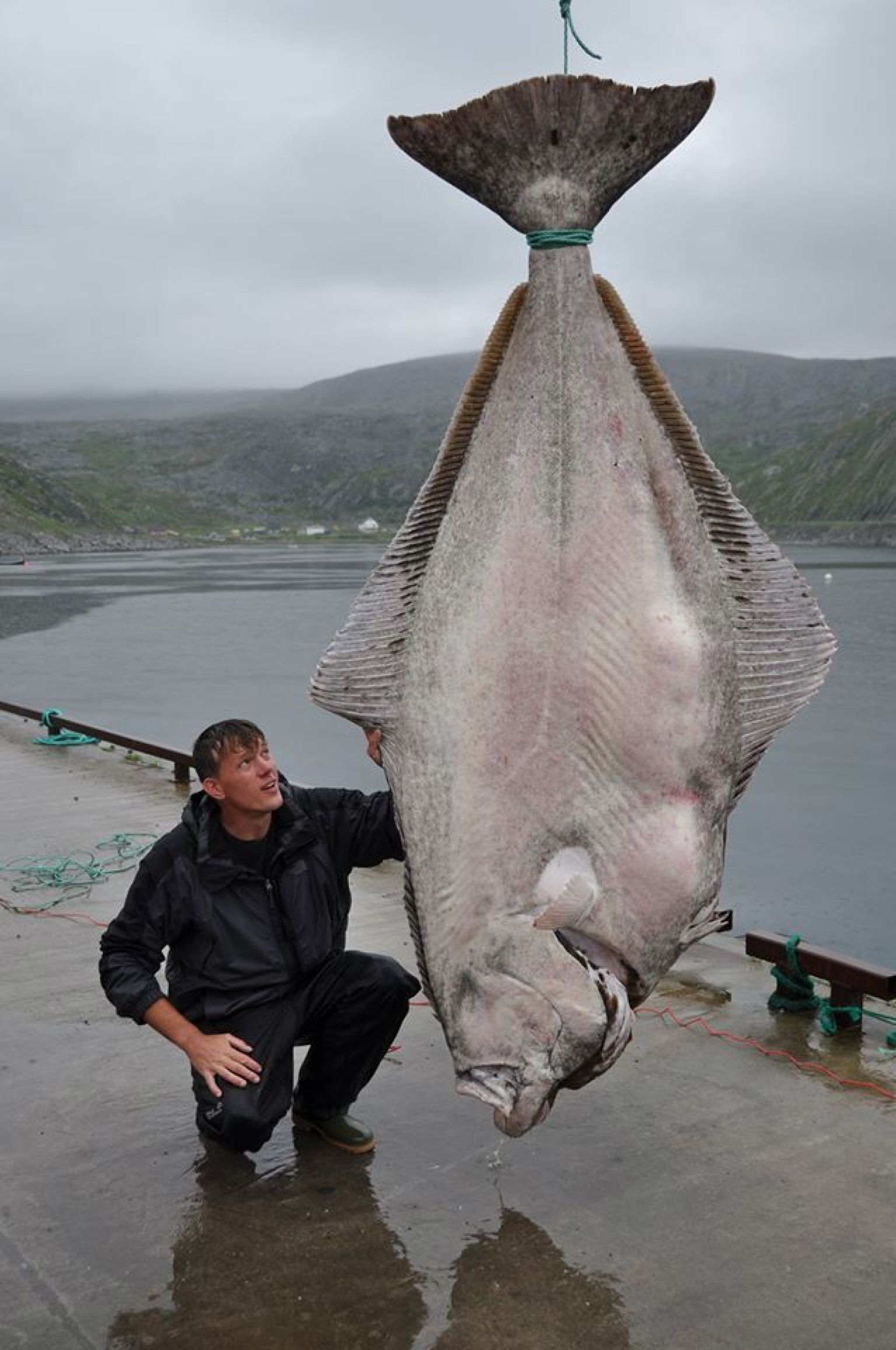 515 pound halibut caught by marco leibenow near norway may for Fat guy fishing