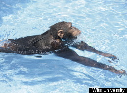 WATCH: Who Knew Apes Can Swim?