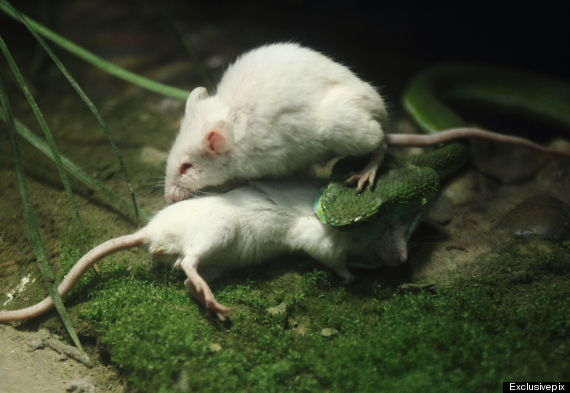 mouse being eaten by snake