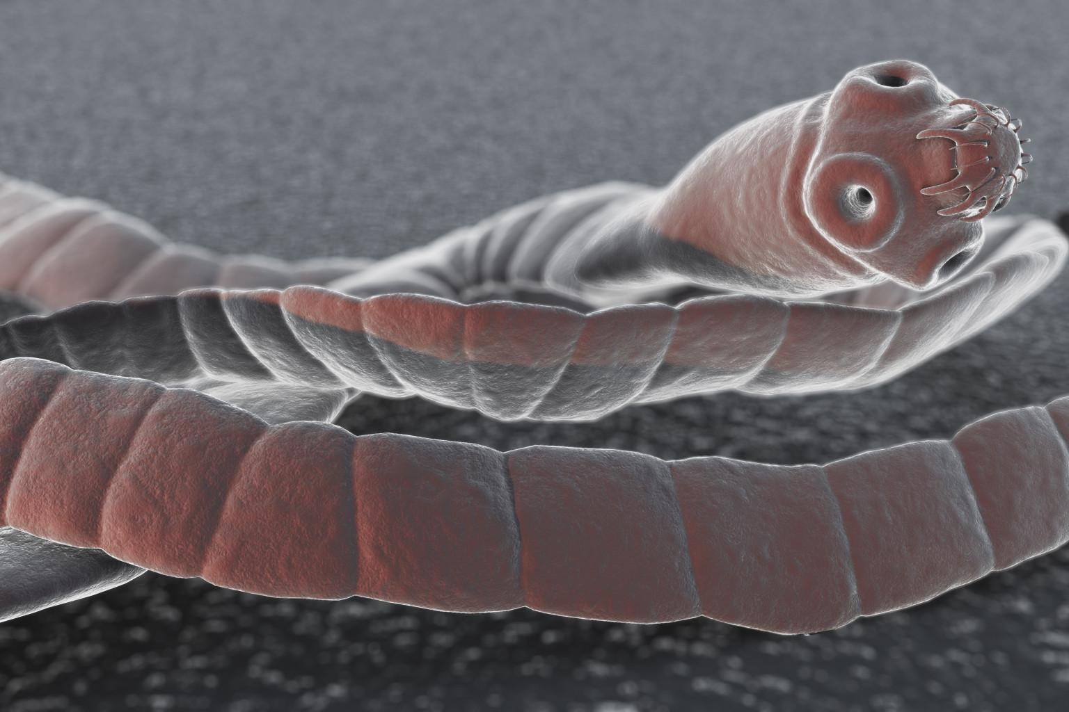 Image result for tapeworm