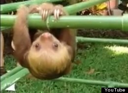 WATCH: Baby Sloth Is Having A Tough Day