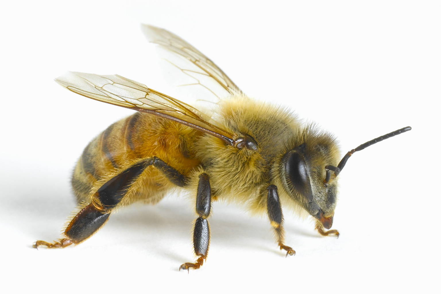 Bee Sting Therapy China: Treatment For Illnesses Causes Buzz Bee