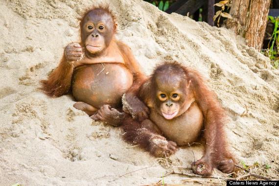 Adorable Baby Orangutans Find A Forever Home On World Orangutan Day  (PHOTOS) | HuffPost