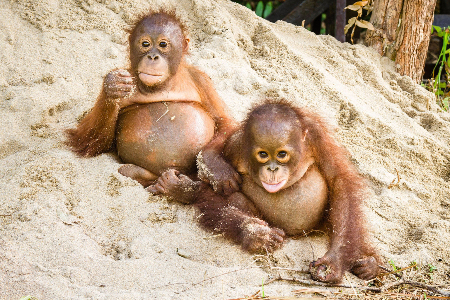 Adorable Baby Orangutans Find A Forever Home On World