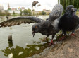 'Zombie Pigeon' Deaths In Moscow Investigated; Bizarre Behavior Likely Caused By Salmonella Poisoning