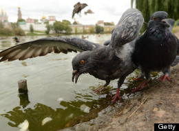 pigeons zombies Moscou