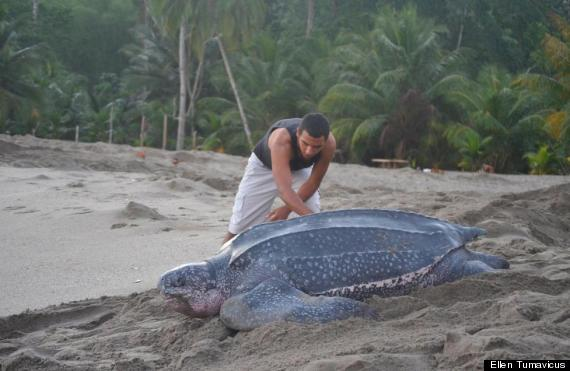 Leatherback sea turtle pictures in the water - photo#34