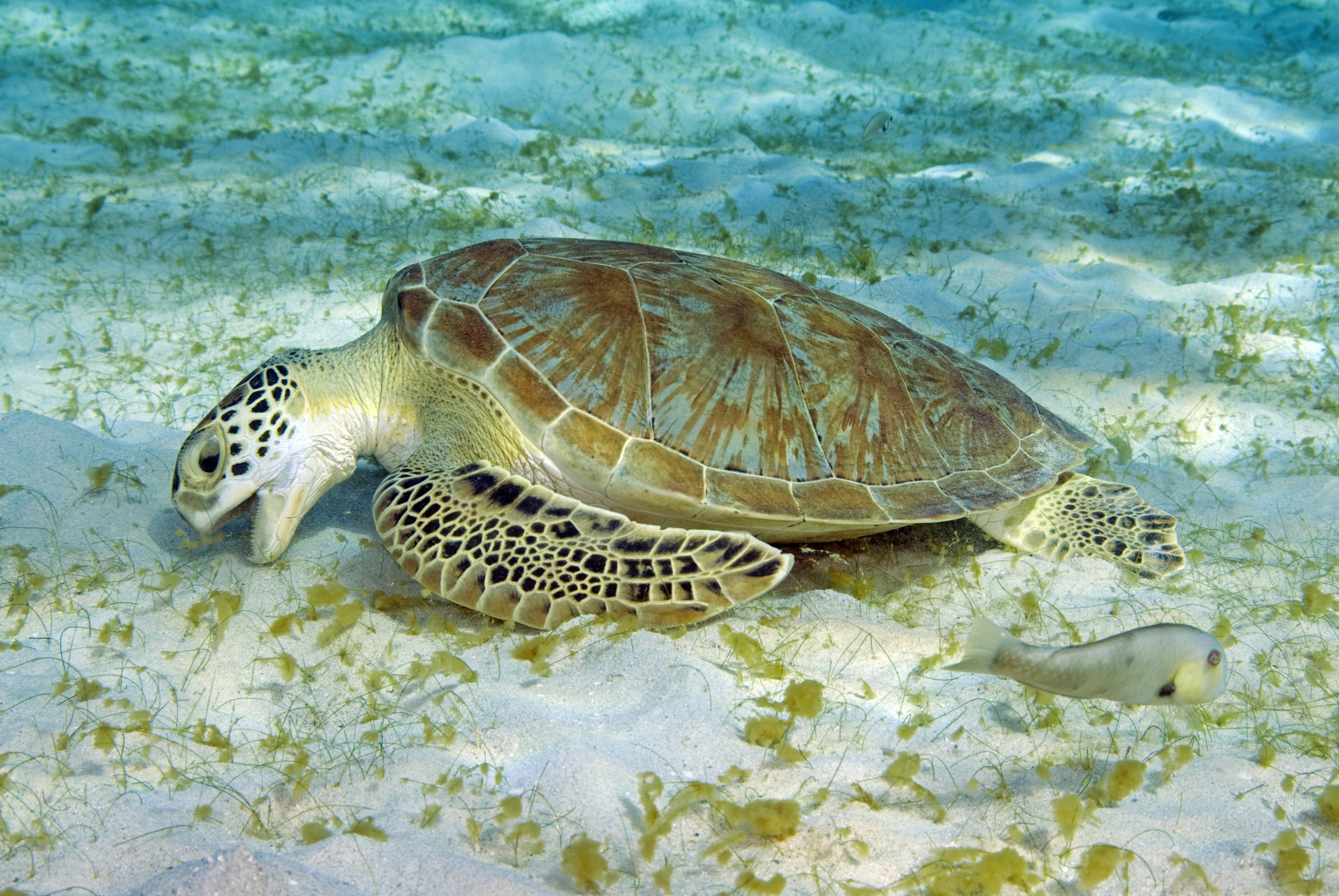 Sea Turtles Eating Plastic At Record Rates Amid Surge In Pollution ...