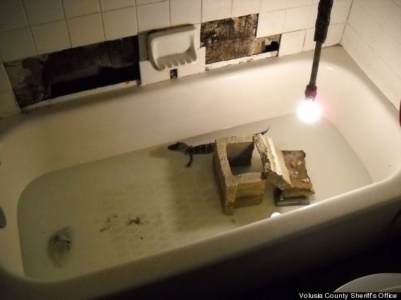 alligator in tub