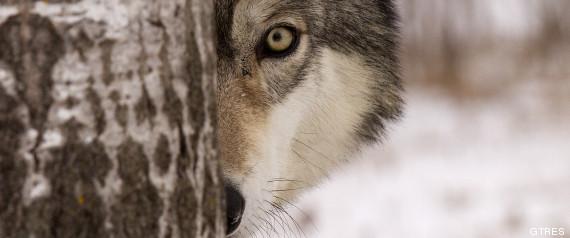 r LOBO large570 Los lobos se rajan a dar gritos cuando se va un amigo [Estudio]
