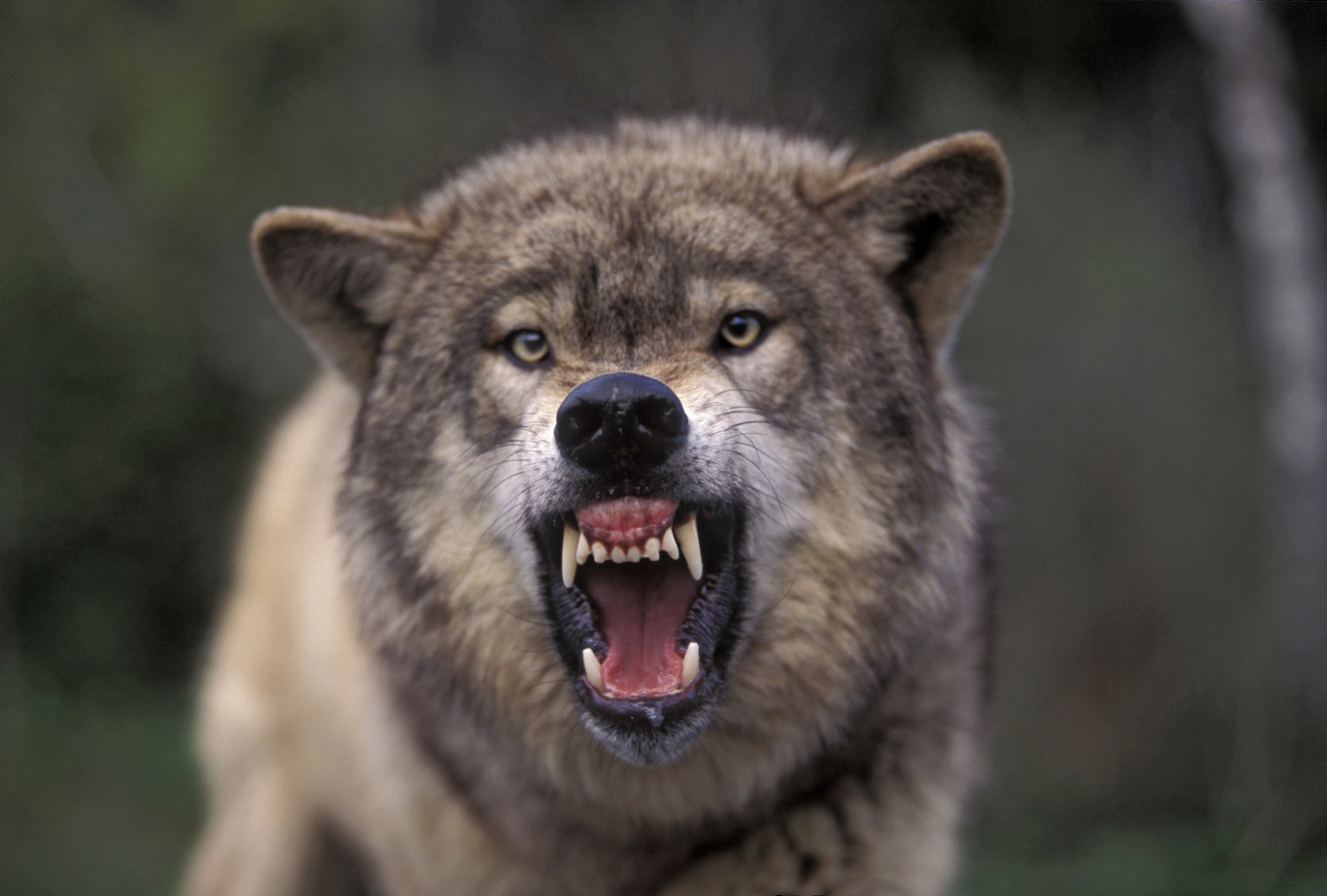 Wolf Howl Study Suggests Behavior Helps Animals 'Keep In