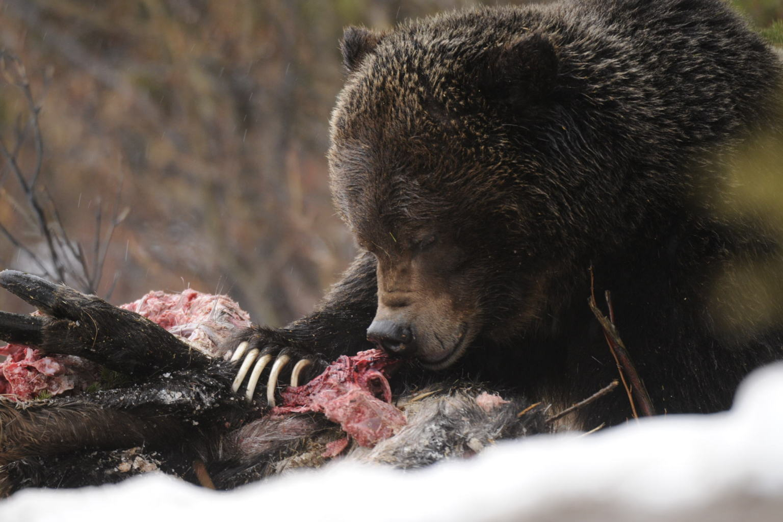 Grizzly Eats Black Bear In Banff National Park