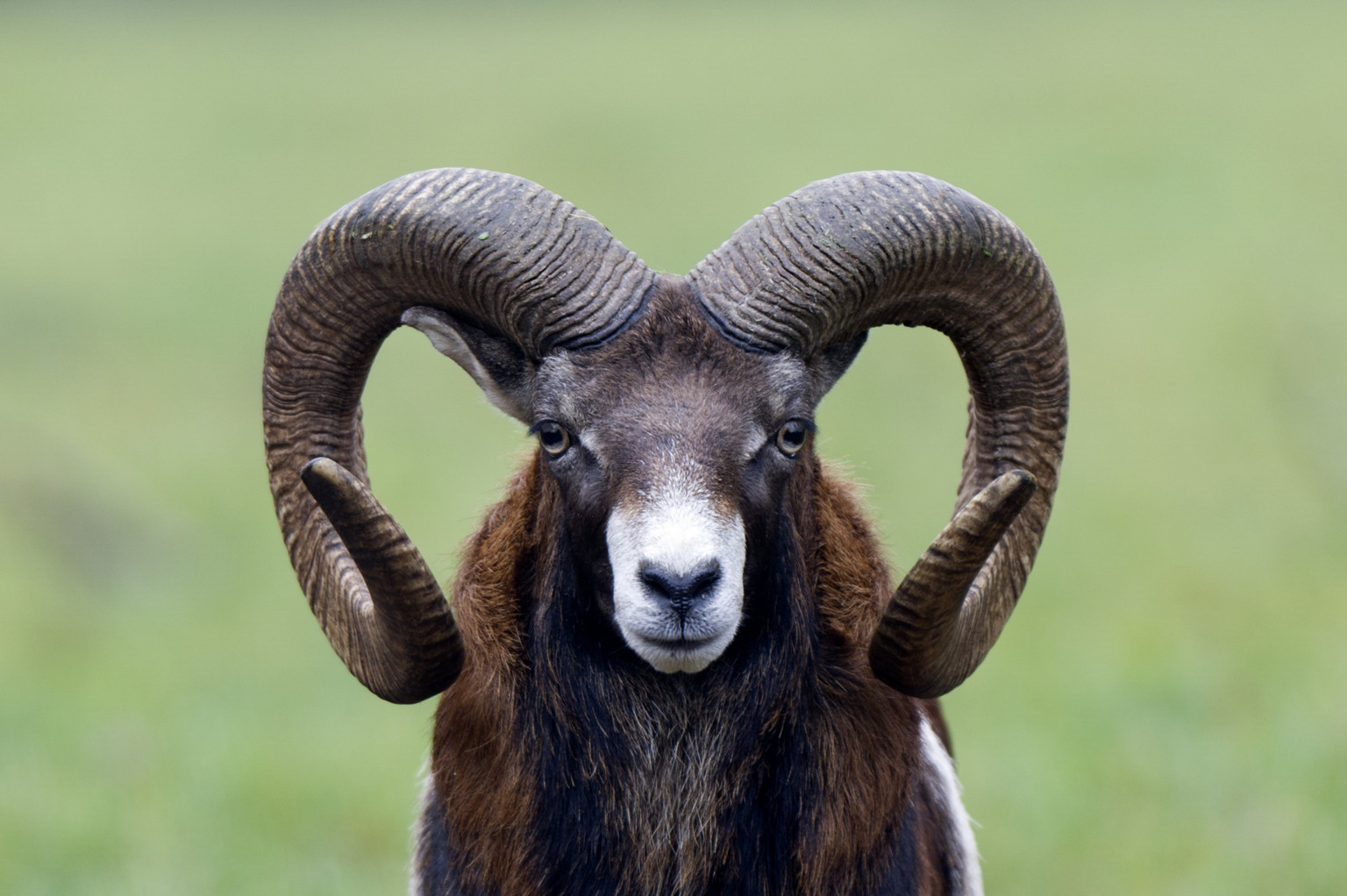 Judging Stone's Sheep | Stone's Sheep Hunting Tips | Aging Stone ...