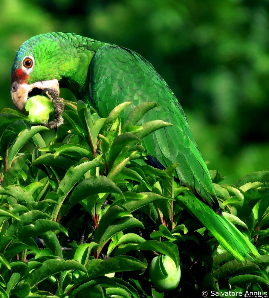 red crowned amazon