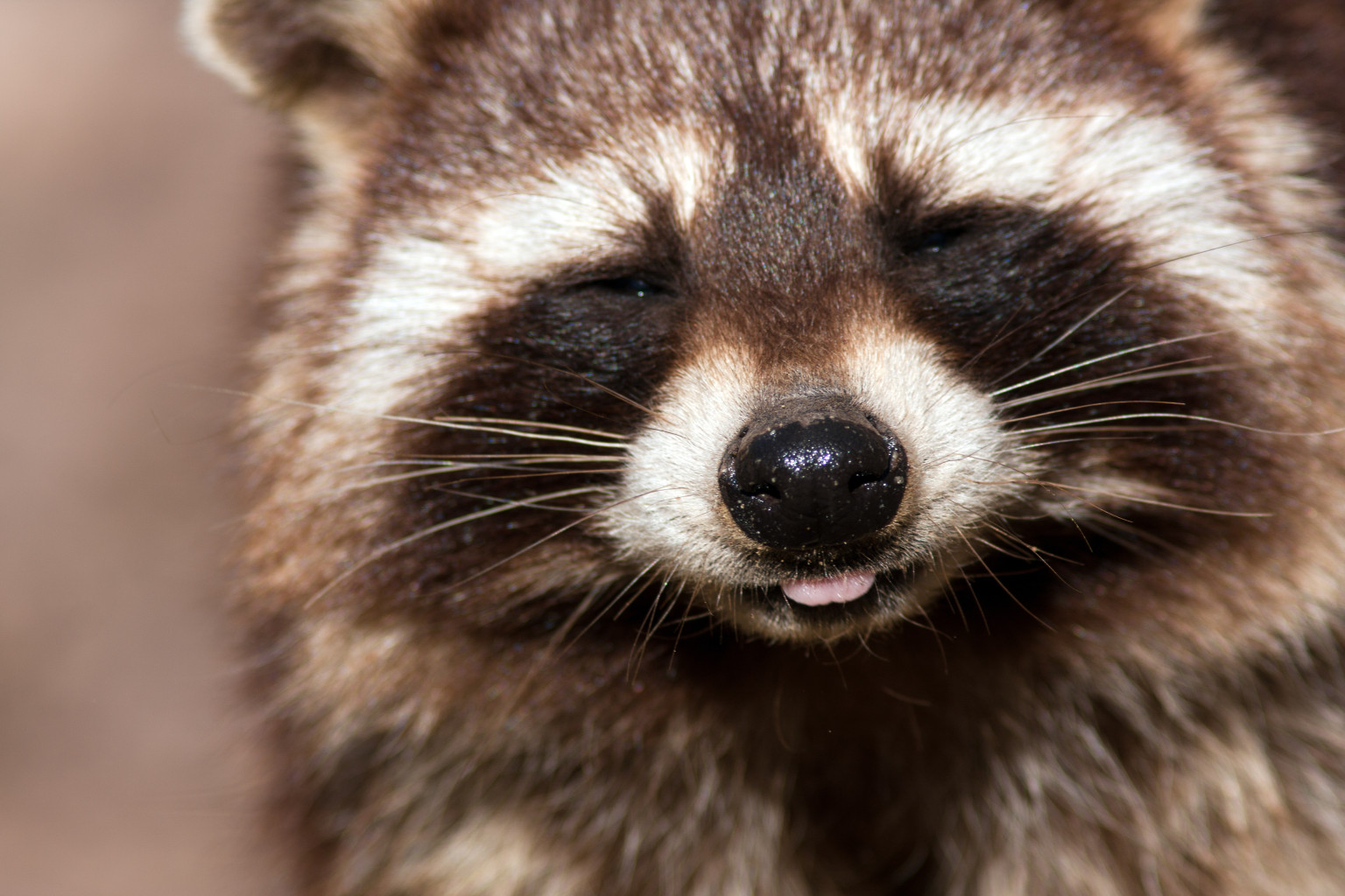 Toronto Wages War On Raccoon  Raccoon