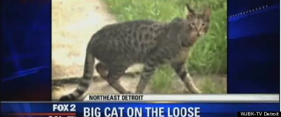 Detroit Big Cat