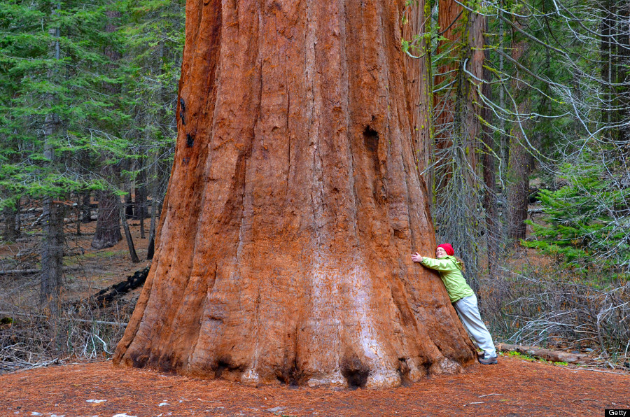 yosemite sequoias