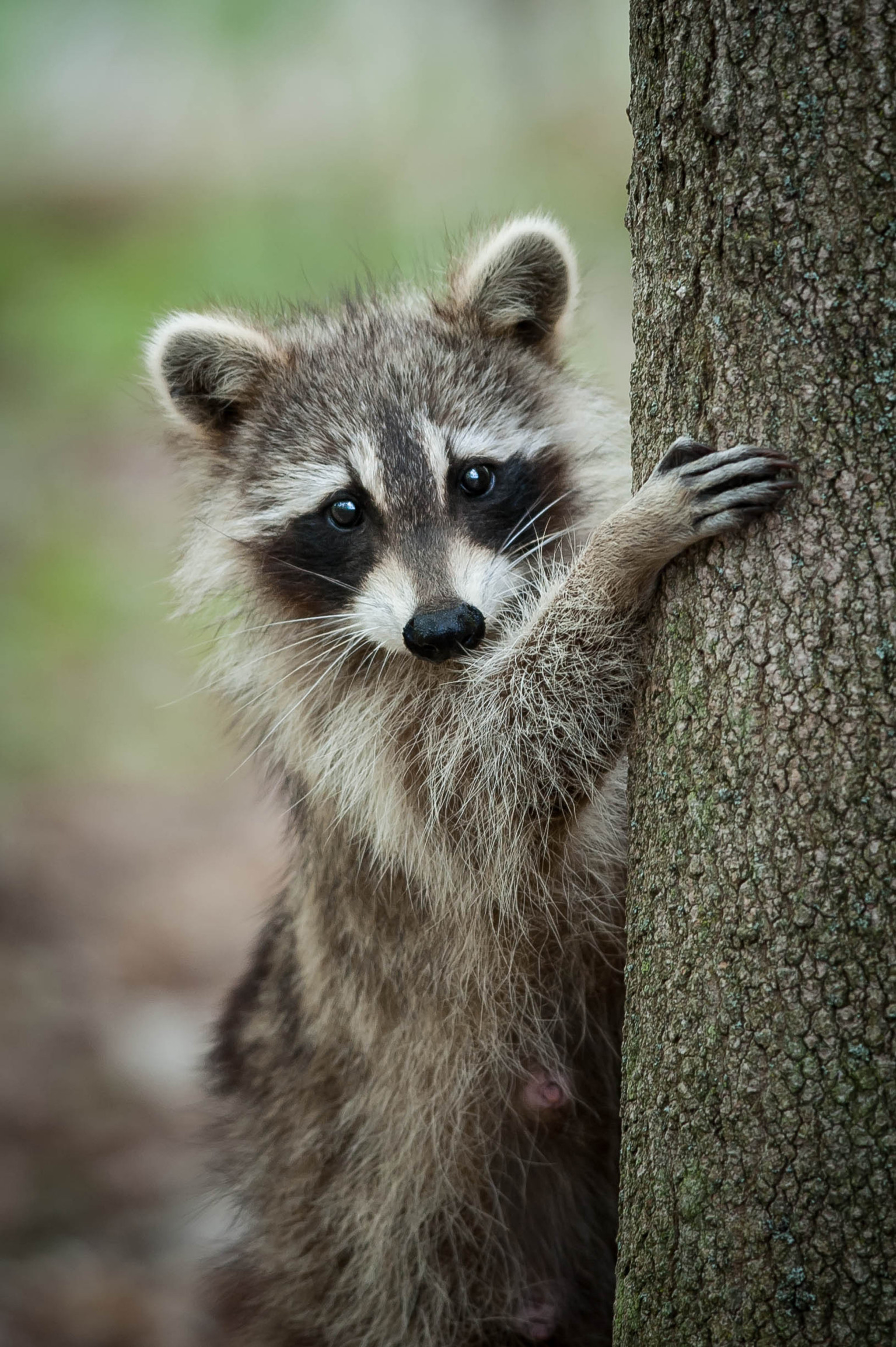Saw a Raccoon Outside in the Daytime? It Might Not Be What ...