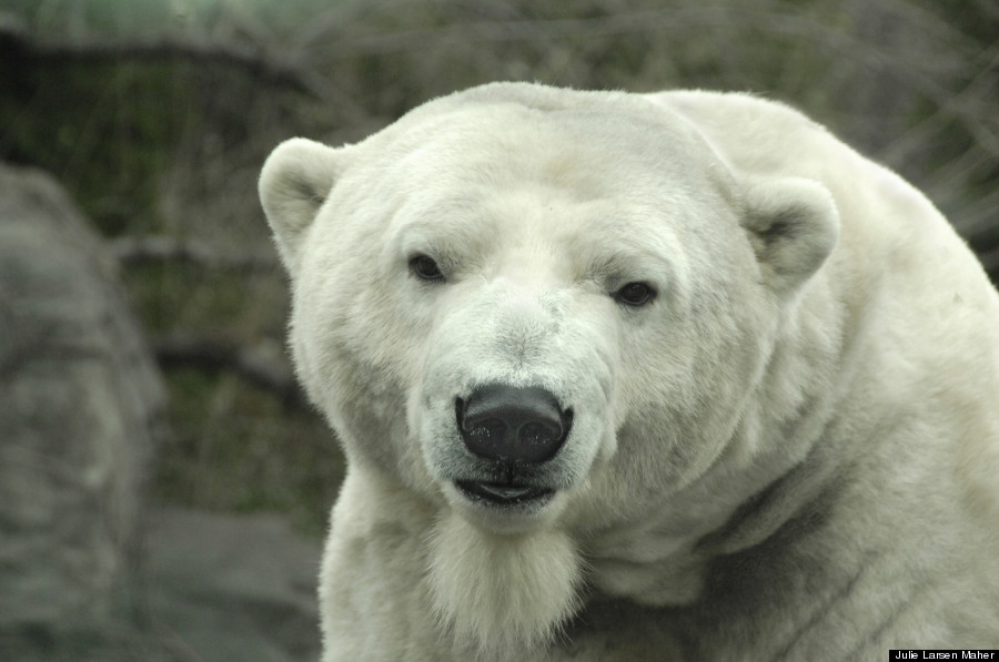 gus polar bear