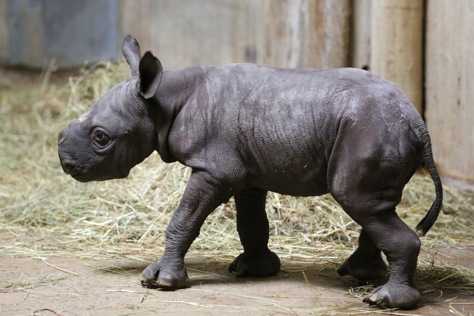 Endangered Black Rhino Baby Born At Chicago's Lincoln Park ...