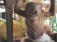Rickina, Baby Orangutan, Will Make You Squeal With Joy (VIDEO)