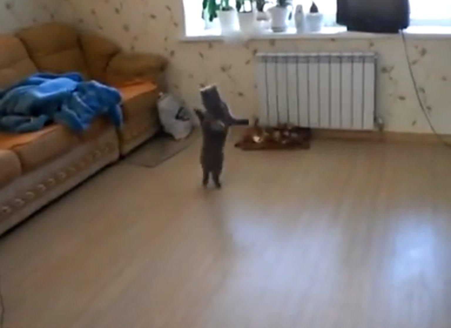 Cat Walking On Its Hind Legs Walking Cat Gif Funny