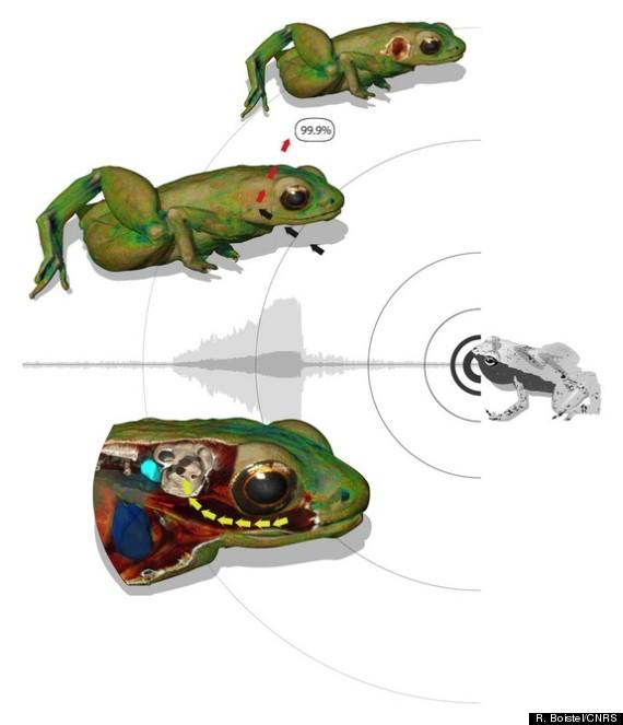 Tawny frogmouth  Wikipedia