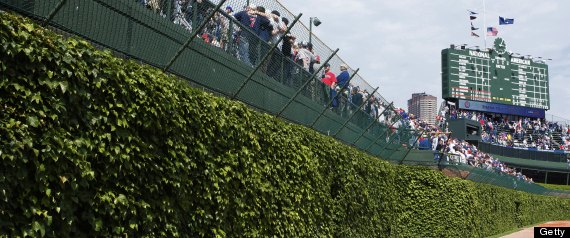 wrigley field ivy theft