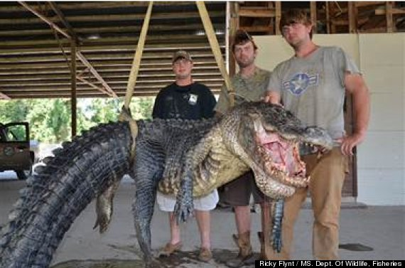727 pound gator caught in mississippi river is a record for State farm fishing guy