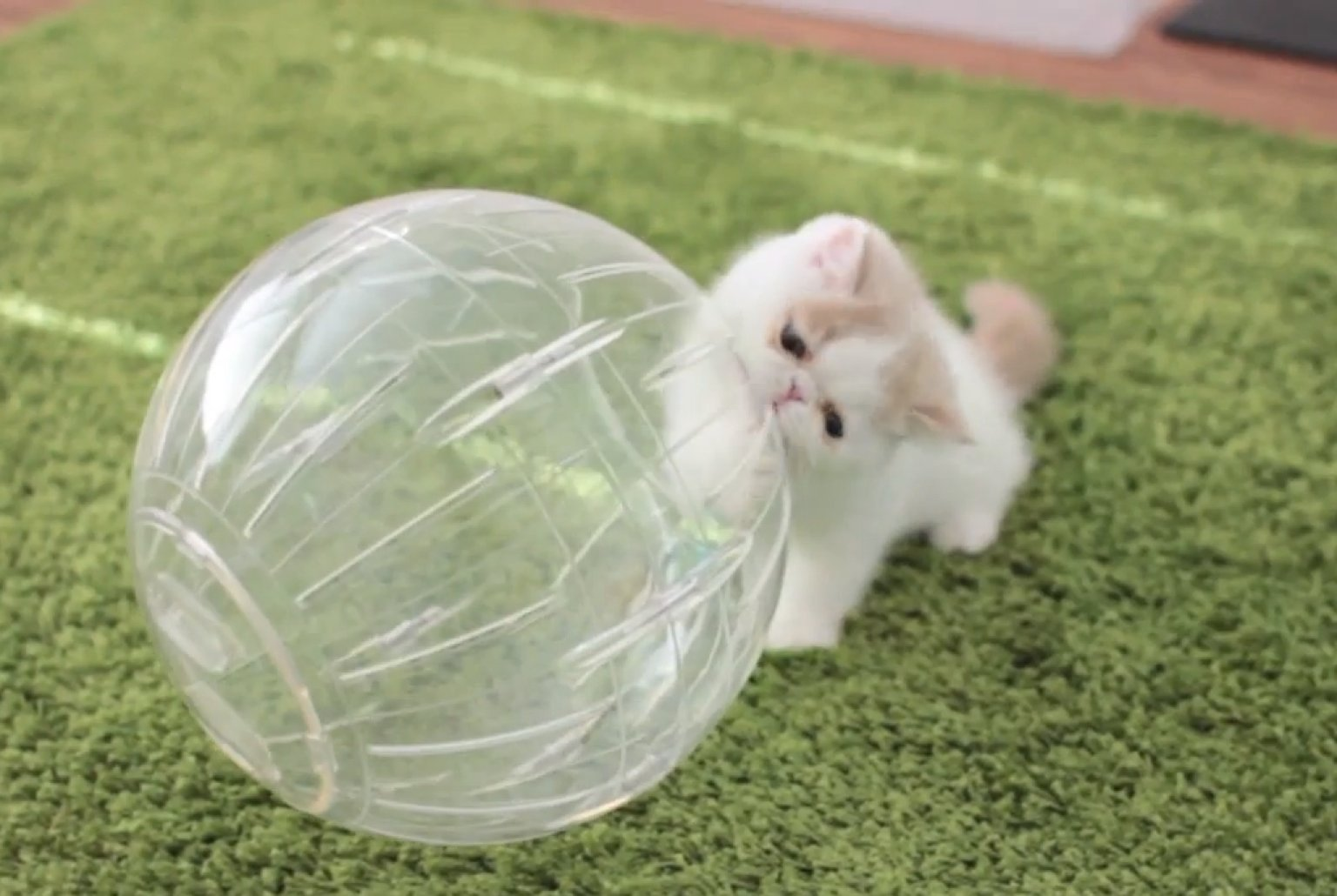 Kittens In Hamster Balls Get Tumblin Video Huffpost