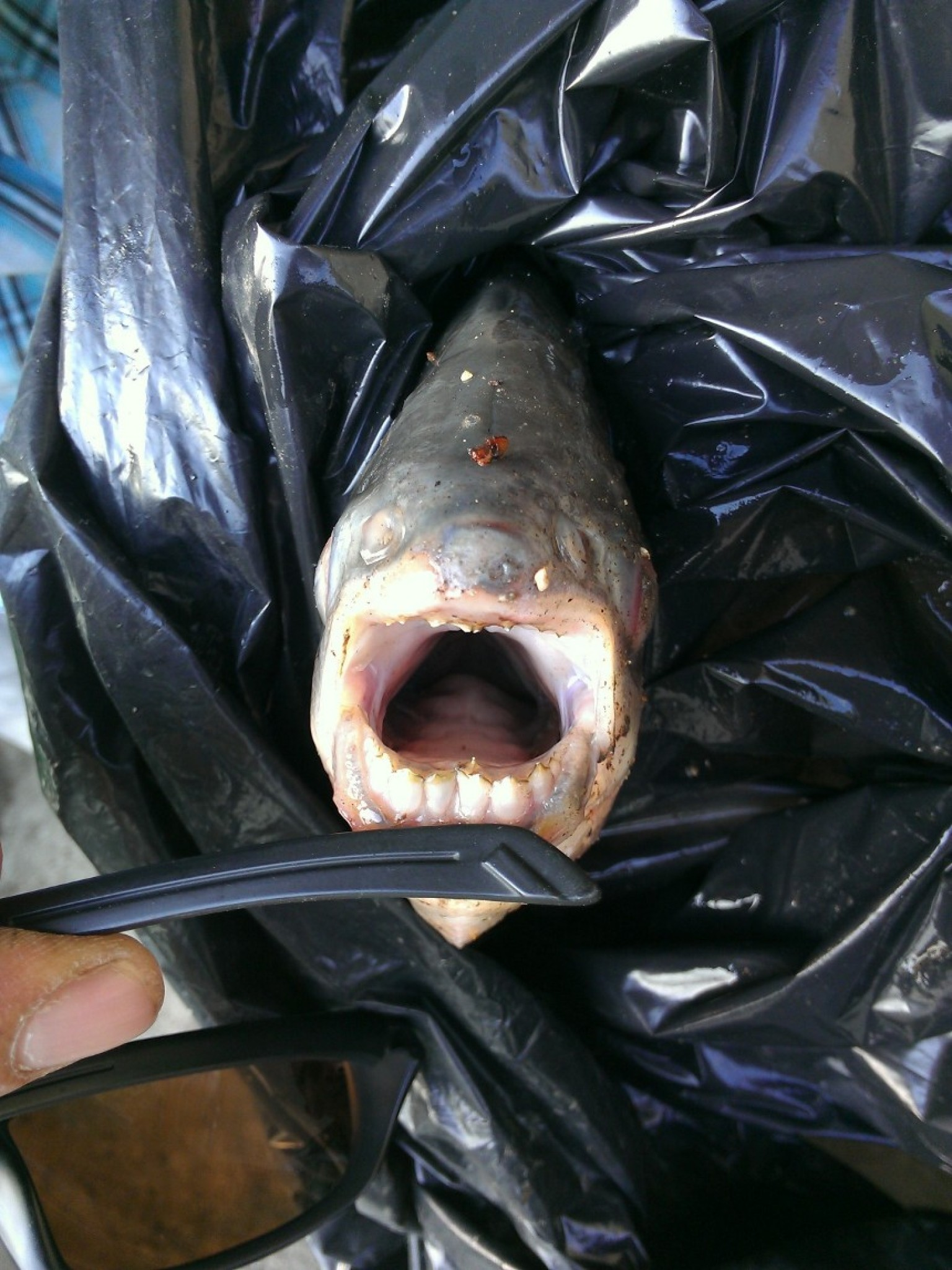 Pacu testicle biting fish caught near paris in the seine for What fish are biting this time of year