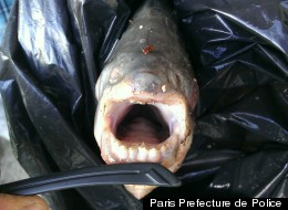 Testicle-Biting Fish Caught Near Paris