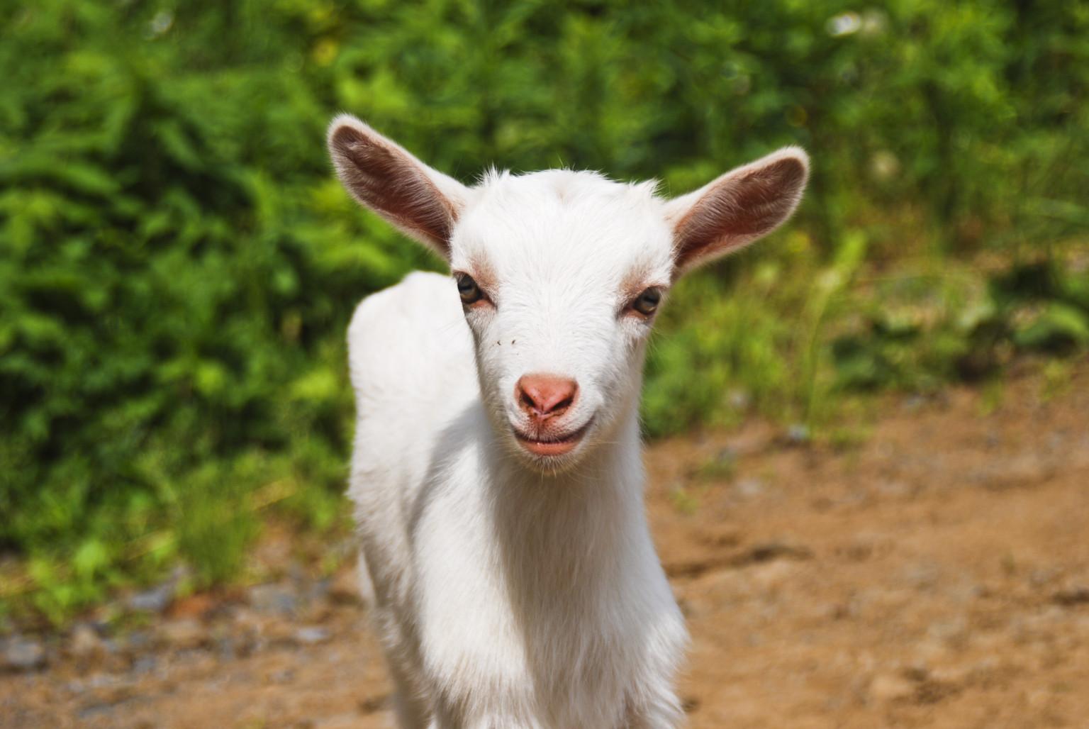 Aparecido Castaldo Brazilian Widower To Marry Pet Goat