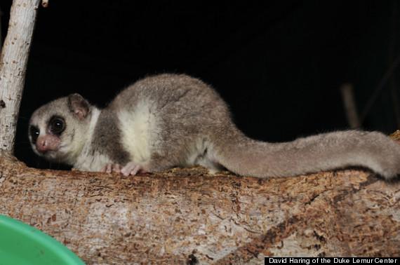 hibernating primate