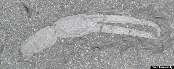 scorpion gondwana